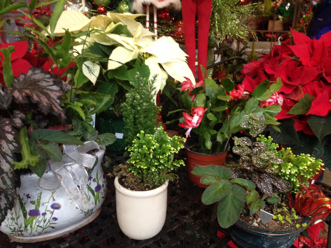 Liven up your home this Christmas with lovely holiday plants!